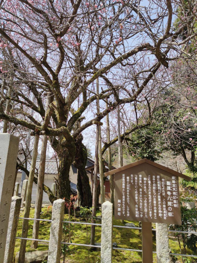 聖蓮寺の八房の梅