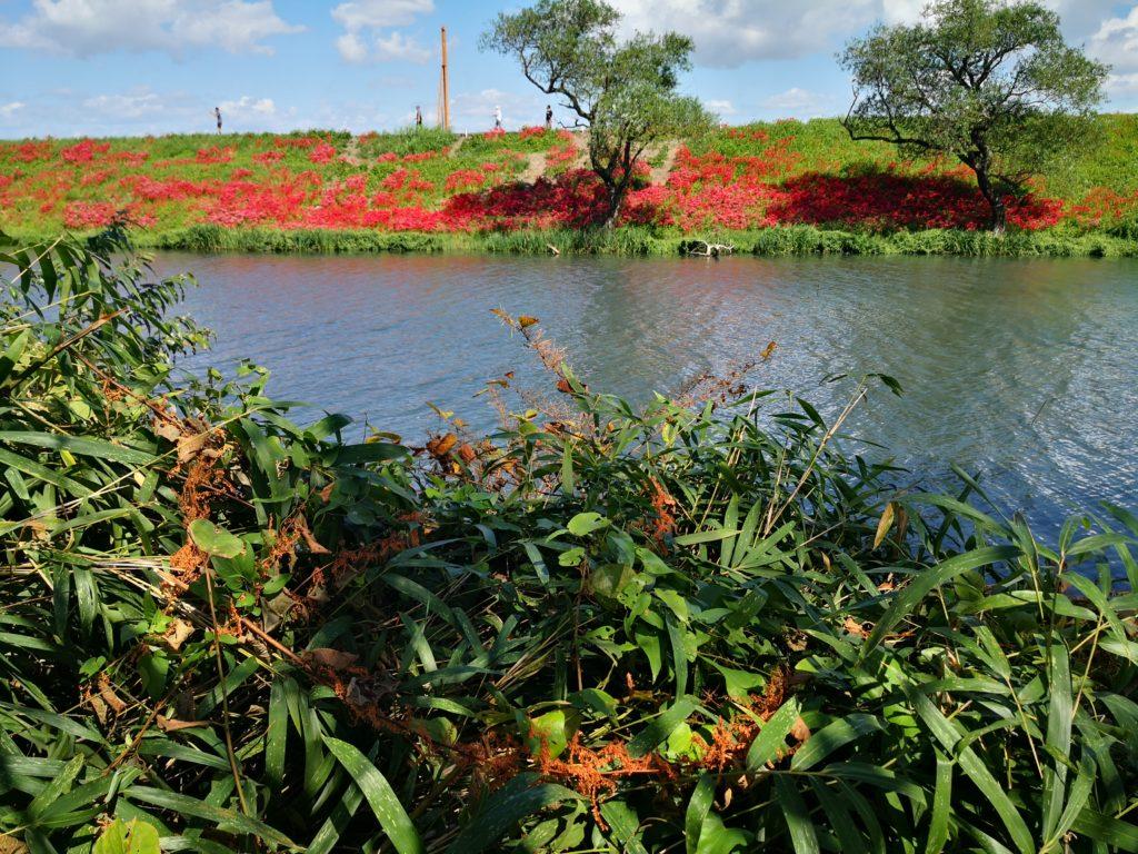 南濃梅園から対岸のヒガンバナ