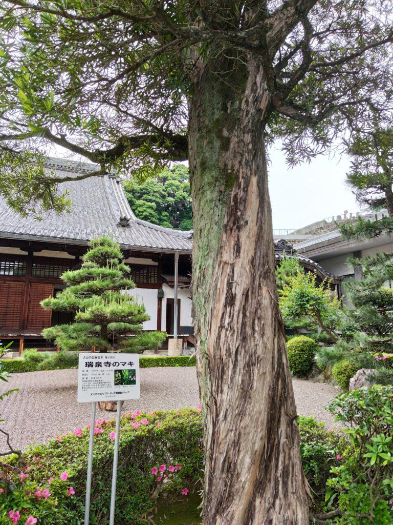 瑞泉寺のマキ
